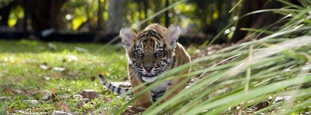 Tiger cub in garden