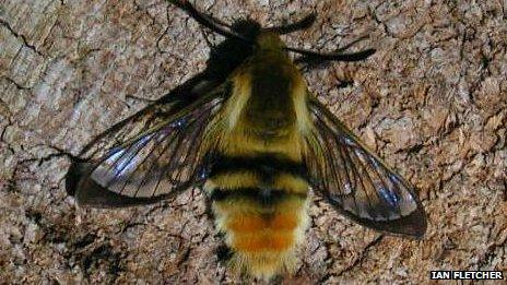 Narrow-bordered Bee Hawk Moth