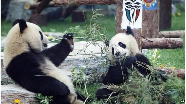 Giant pandas eat bamboo inside a renovated panda hall at a zoo in Beijing