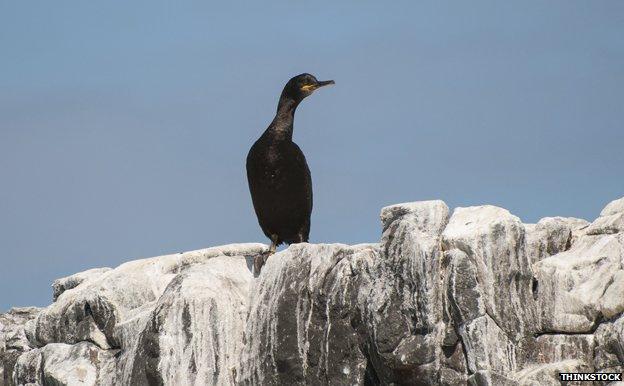 European shag on cliff rock