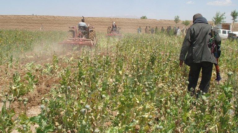 Poppy field Afganistan