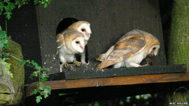 Barn owl chicks outside box