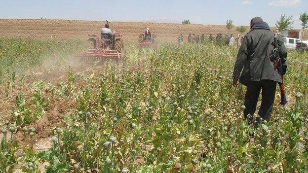 Poppy field Afghanistan