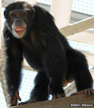 Chimp in a primate centre