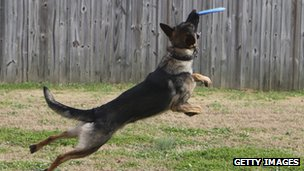 a German shepherd dog catching a frisbee