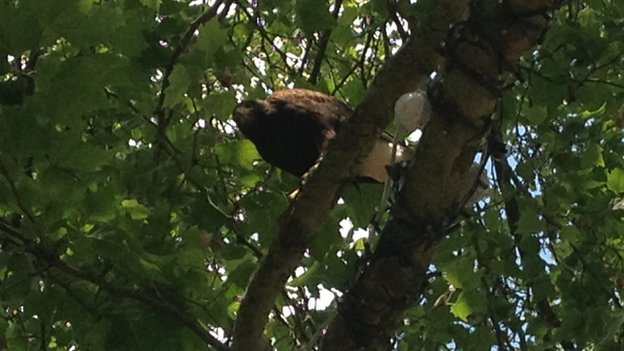 Escaped Harris hawk in tree, Peterborough