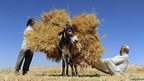 Afghan farmers load a donkey as they harvest wheat on the outskirts of Herat on 23 June 2014.