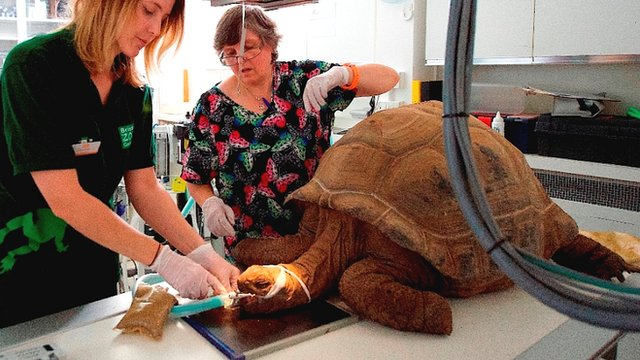 Giant tortoise at Bristol Zoo