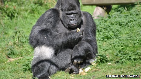 Gorilla called Djala