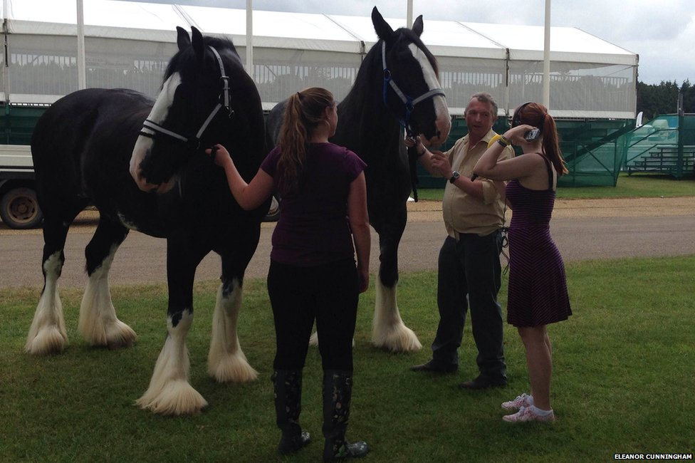 Suffolk punches at the Norfolk Show