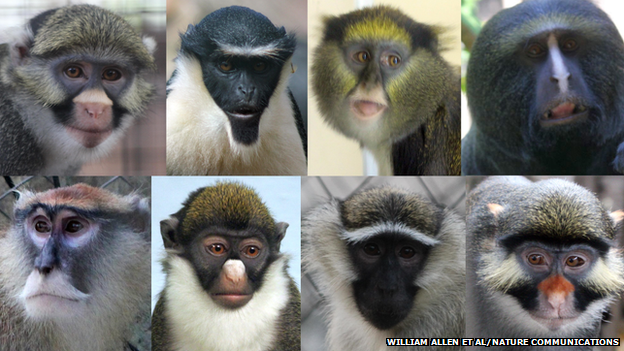 Guenon monkeys