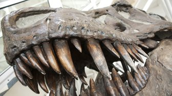Tyrannosaurus rex skull (c) Mark Williamson / Science Photo Library