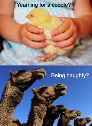 Chick and a camel