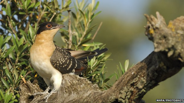 A young great spotted cuckoo
