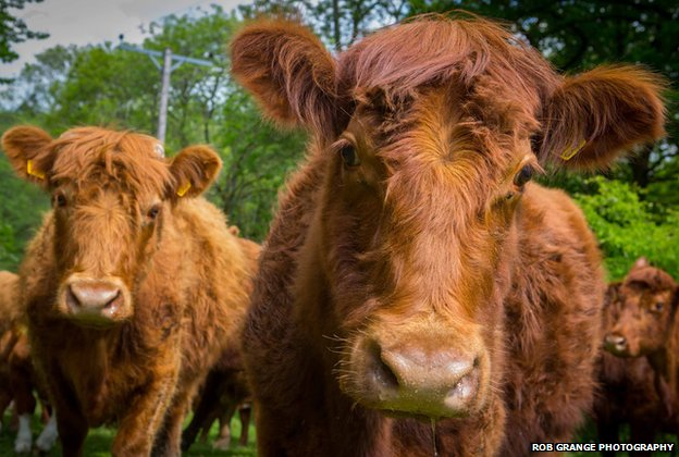 Luing cattle at High House Farm, Winster, Cumbria