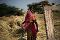 Bishnoi woman works in a field at Guda Bishnoi village near Jodhpur in Rajasthan, India.