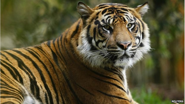 A young male Sumatran tiger sits in a new $19.5 million tiger habitat at the San Diego Zoo's Wild Animal Park in San Diego's San Pasqual Valley on 21 May 2014
