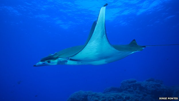 Chilean devil ray