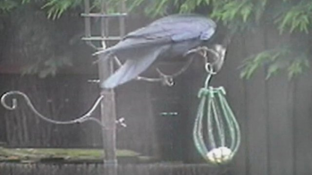 Crow breaks into bird-feeder (c) John Charles
