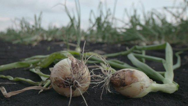 Onions in field