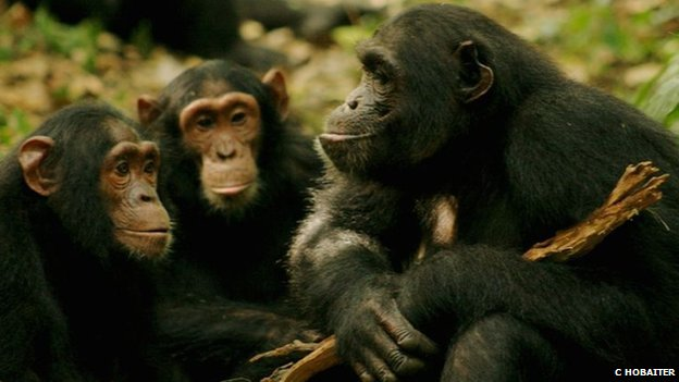 Chimps in Uganda (c) Cat Hobaiter