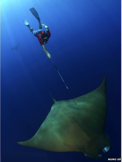Diver taking devil ray biopsy