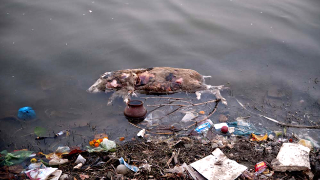 Animal decomposing in the Ganges