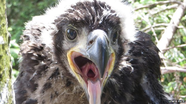 the rescued sea eagle chick