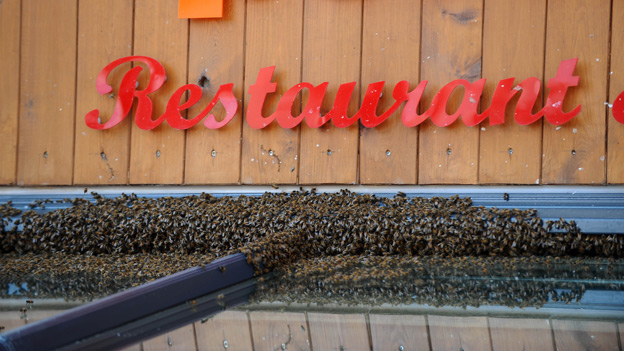 The bees swarm on the restaurant awning
