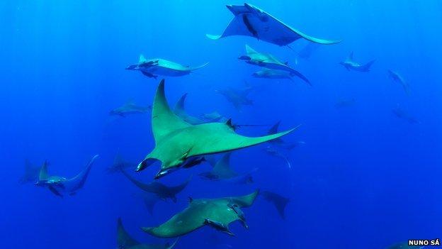 Chilean devil rays