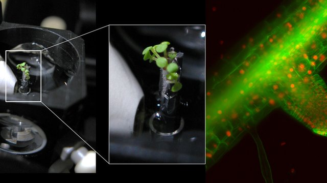 Thale cress grown inside a microscope