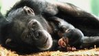 Chimp with baby