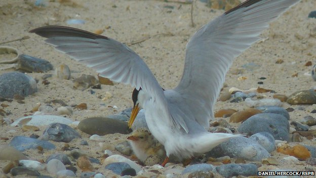 Little tern adult and chick