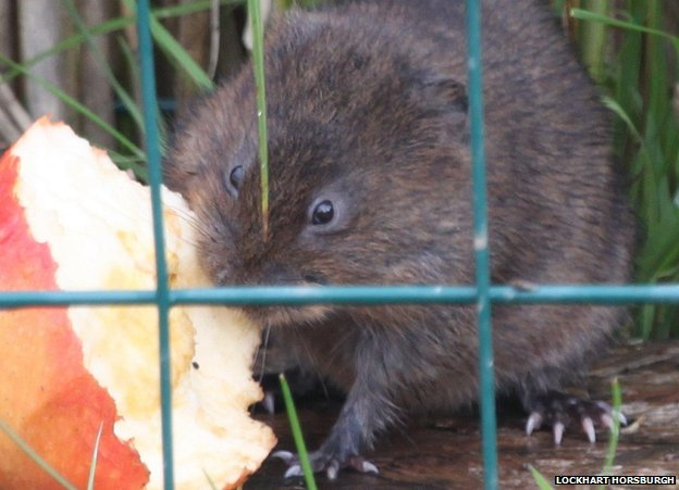 Water vole eating an apple