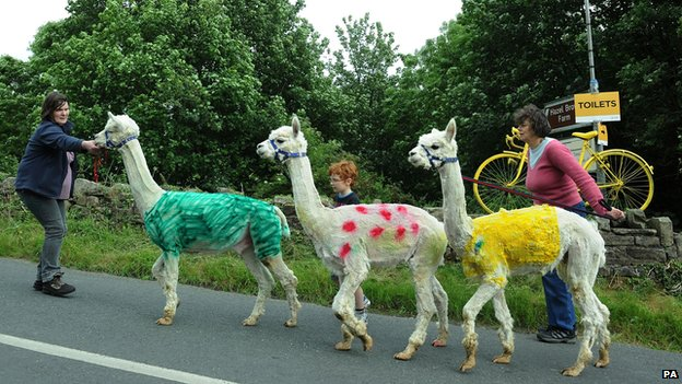 Alpaccas painted in the Tour de France leading jersey colours