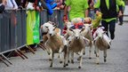 Sheep race