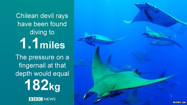Chilean devil rays, huge warm-water fish, discovered plunging to ice-cold depths
