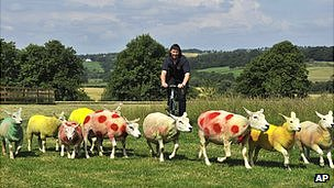 tour coloured sheep