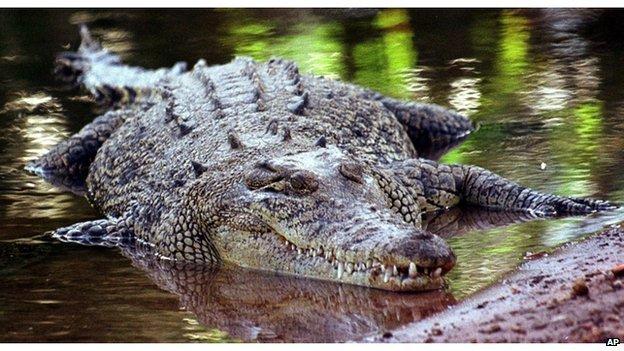 Saltwater crocodile in Queensland, Australia