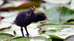 A newly hatched moorhen chick