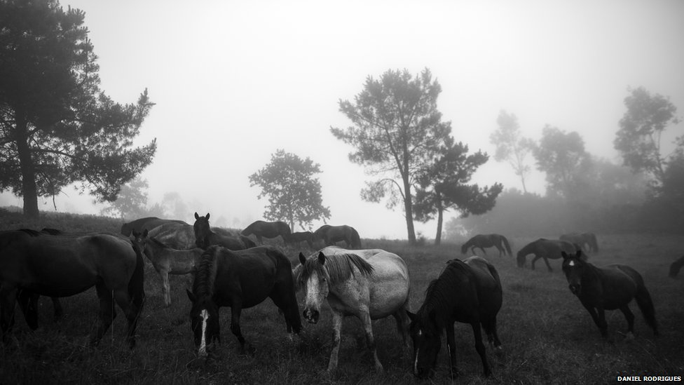 The beasts spend the whole year in the hills above Sabucedo, Galicia.