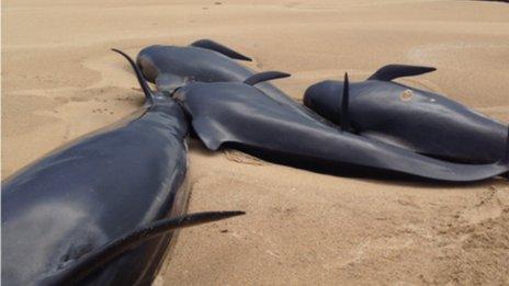 Pilot whales on beach