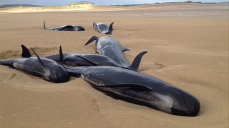 The pod of whales beached in County Donegal