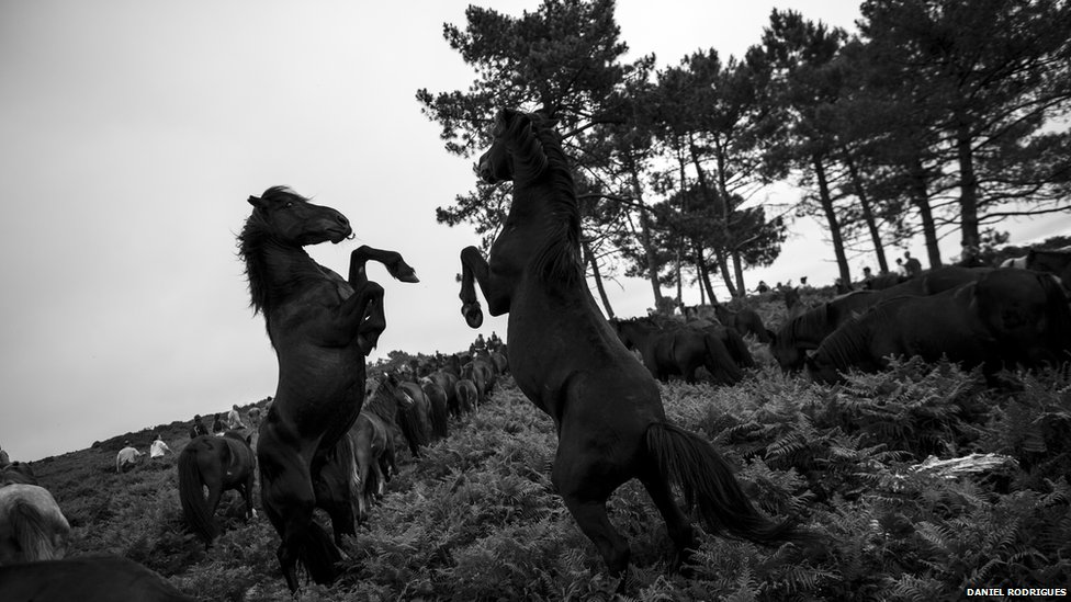 "Wild horses, or ""brutes"" as they are known in Galicia, often struggle with each other"