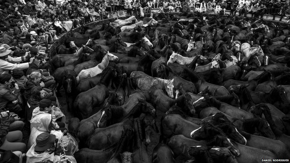 The horses are gathered in the Curro before the cutting begins