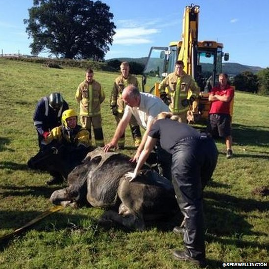 The cow was checked over by a vet after being rescued but was unharmed