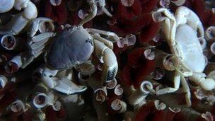 White crabs