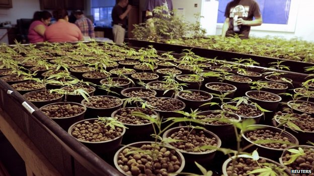 Cloned marijuana plants are pictured at the Sea of Green Farms growing facility in Seattle, Washington 30 June 2014