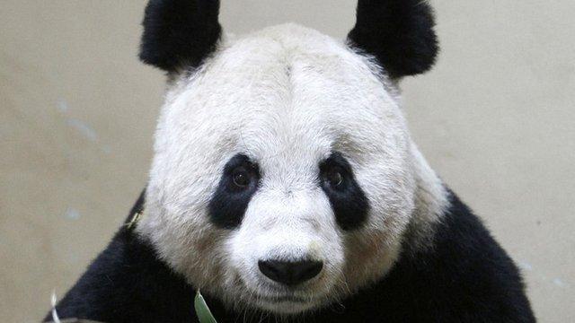Tian Tian - file image