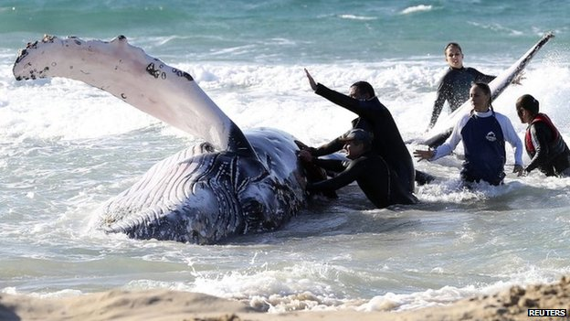 Marine rescue workers attempt to help a juvenile humpback whale stranded at Palm Beach on the Gold Coast, in Queensland on 9 July 2014